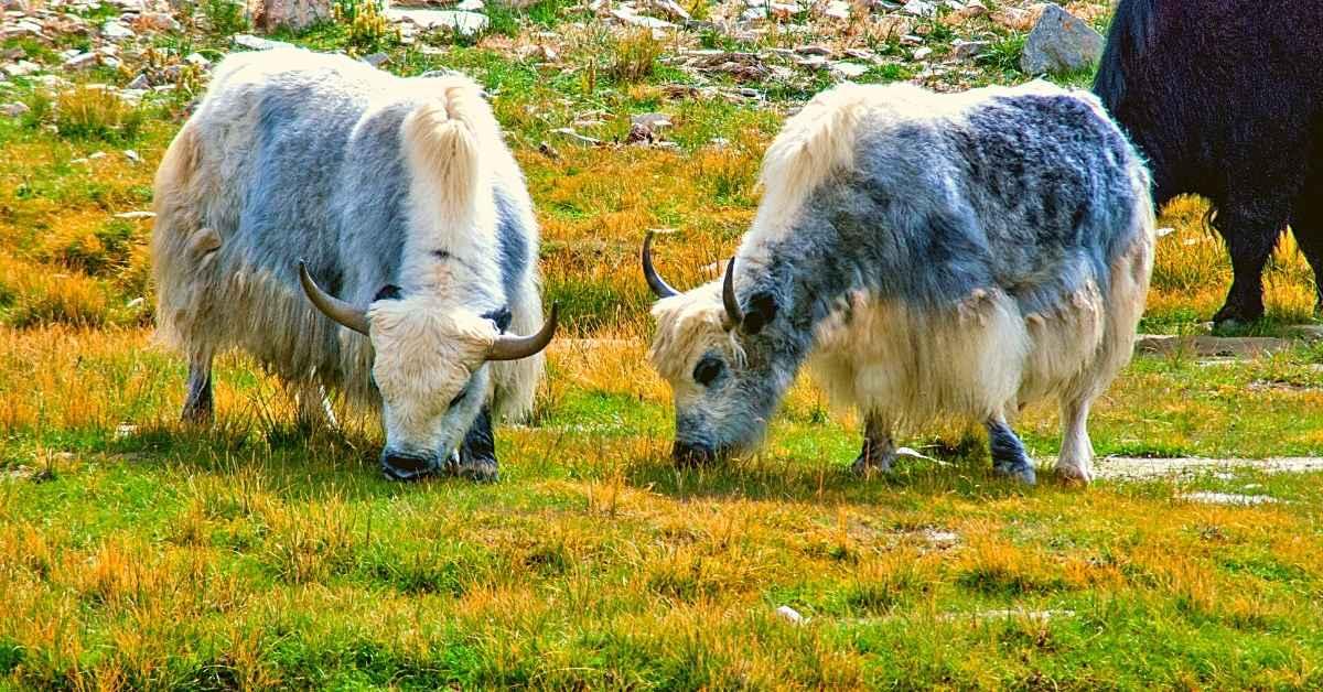 Yaks in Ladakh